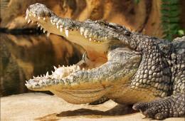 Нильский крокодил— невидимый убийца