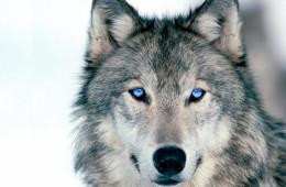 Волки— Фото