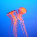 Медузы— Фото
