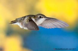 Колибри— Фото