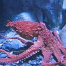 Осьминоги— обитатели морских глубин