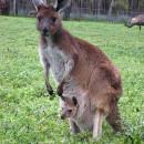 Чем питаются кенгуру