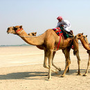 Верблюды— «корабли пустыни»