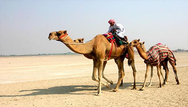 что едят верблюды