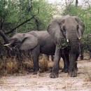 Чем питаются слоны