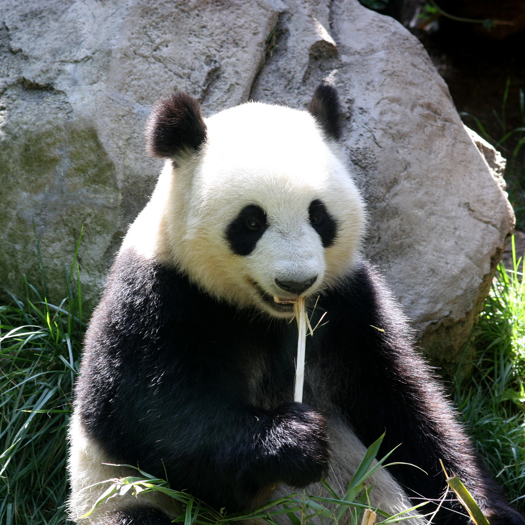 что ест панда